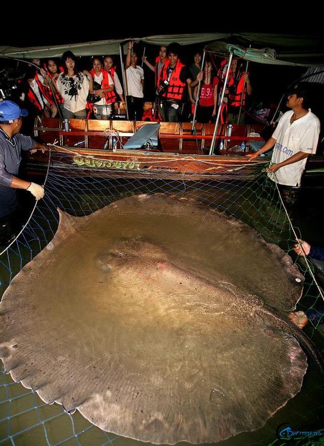 湄公河巨型魔鬼鱼才是淡水钓终极目标,让你知道什么才是大鱼-7.jpg