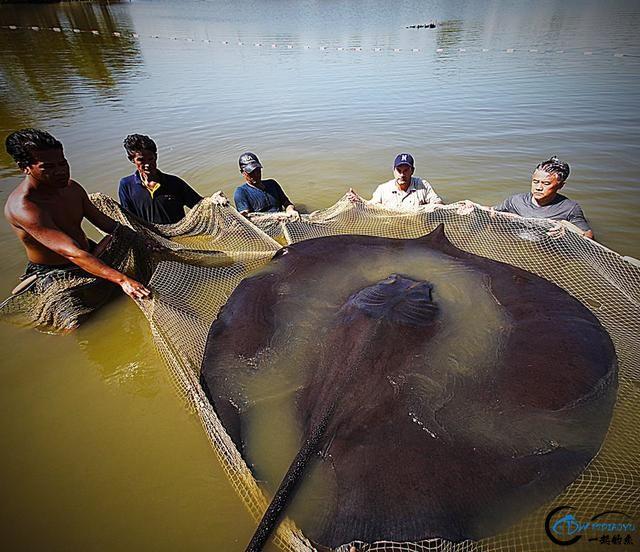 湄公河巨型魔鬼鱼才是淡水钓终极目标,让你知道什么才是大鱼-13.jpg