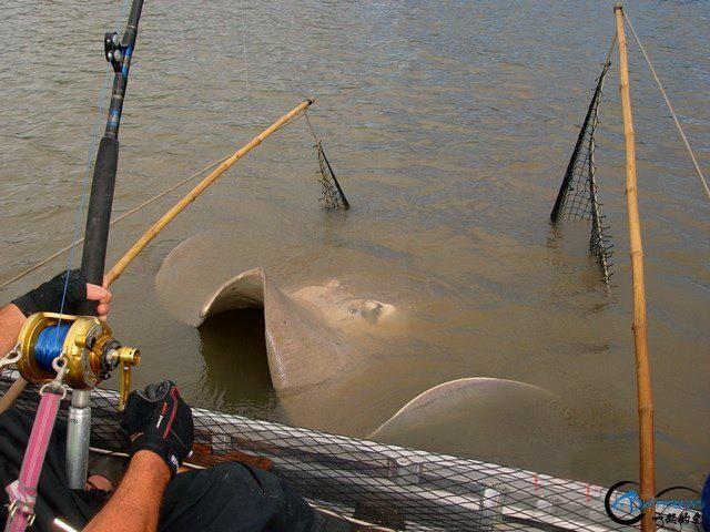世界最巅峰的湄公河魔鬼鱼挑战赛,中国钓鱼人竟还是一片空白-7.jpg