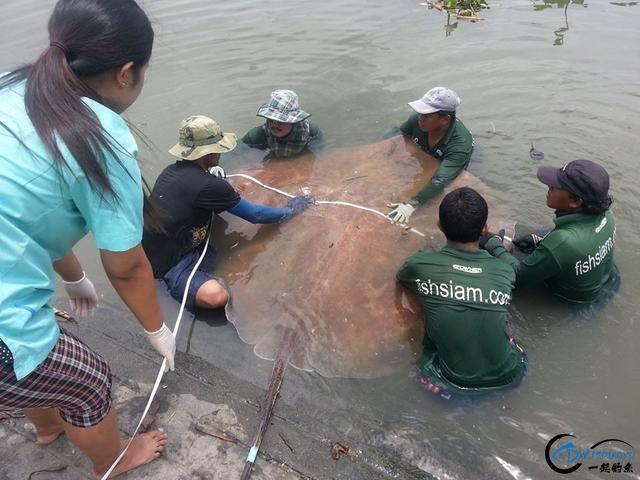 世界最巅峰的湄公河魔鬼鱼挑战赛,中国钓鱼人竟还是一片空白-22.jpg