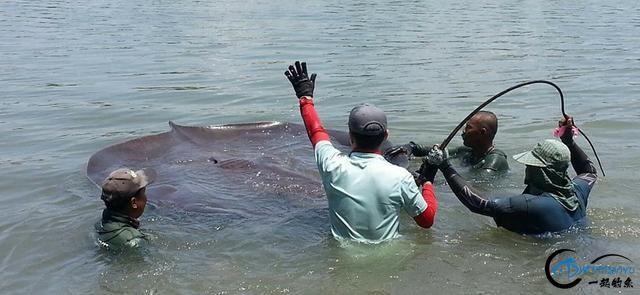 世界最巅峰的湄公河魔鬼鱼挑战赛,中国钓鱼人竟还是一片空白-25.jpg