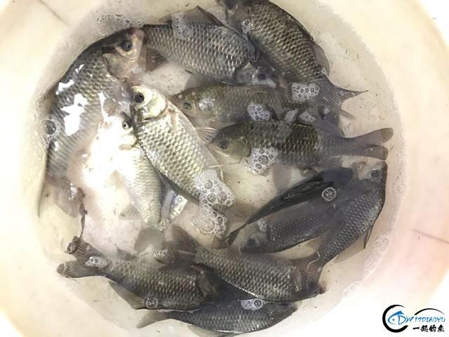 我是钓鱼人,但是我放生了一条7斤的鲤鱼,希望新的一年好运连连-3.jpg