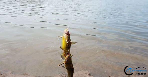 背上有三根刺,钓鱼人最怕钓到它,拿来水煮是名肴-2.jpg