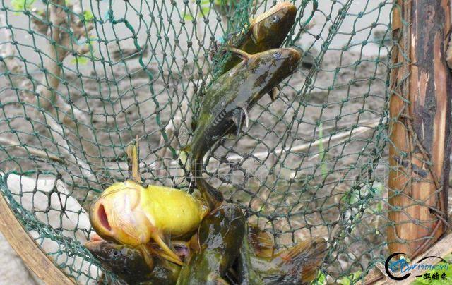 背上有三根刺,钓鱼人最怕钓到它,拿来水煮是名肴-1.jpg