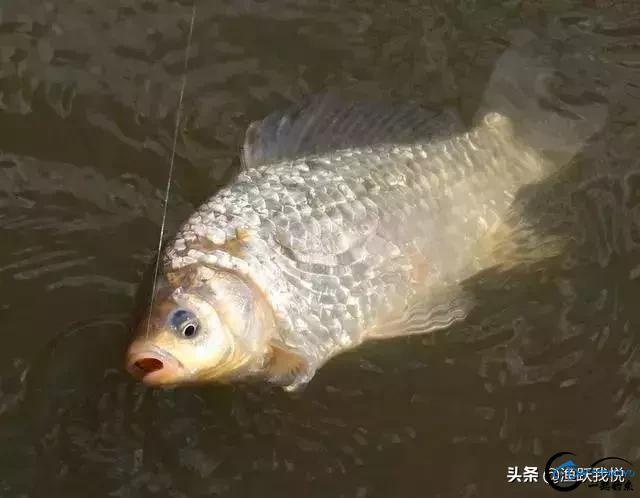 冬季钓鲫鱼的绝招,钓鱼技巧中的王牌!-1.jpg