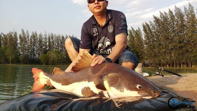 国内无数观赏鱼爱好者钟爱的招财猫,在泰国却是钓鱼人的最爱-11.jpg