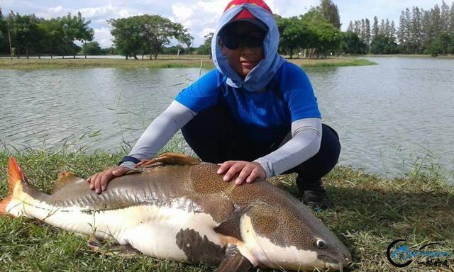 国内无数观赏鱼爱好者钟爱的招财猫,在泰国却是钓鱼人的最爱-10.jpg