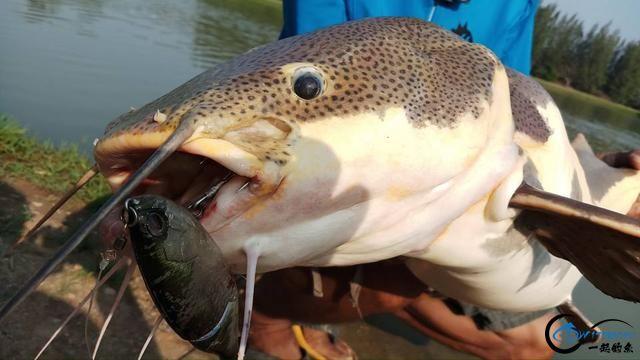 国内无数观赏鱼爱好者钟爱的招财猫,在泰国却是钓鱼人的最爱-16.jpg