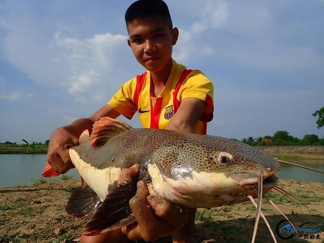 国内无数观赏鱼爱好者钟爱的招财猫,在泰国却是钓鱼人的最爱-19.jpg