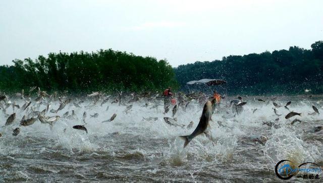 美国泛滥的亚洲鲤鱼好日子这次真的结束了,被消灭只是时间问题-1.jpg