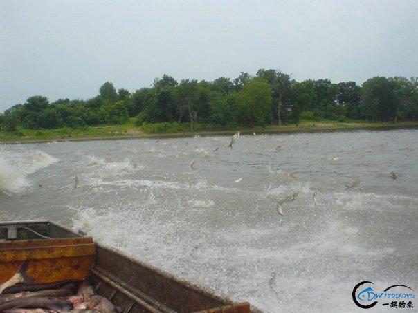 美国泛滥的亚洲鲤鱼好日子这次真的结束了,被消灭只是时间问题-27.jpg