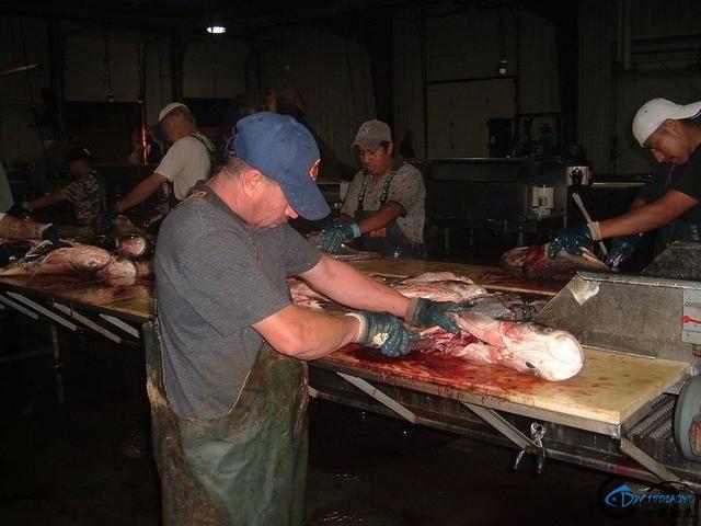 美国泛滥的亚洲鲤鱼好日子这次真的结束了,被消灭只是时间问题-31.jpg