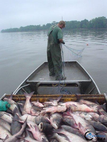 美国泛滥的亚洲鲤鱼好日子这次真的结束了,被消灭只是时间问题-28.jpg