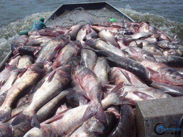 美国泛滥的亚洲鲤鱼好日子这次真的结束了,被消灭只是时间问题-29.jpg