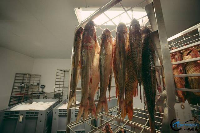 真有人将美国泛滥的亚洲鲤鱼卖到中国,但价格却让人无法接受-11.jpg