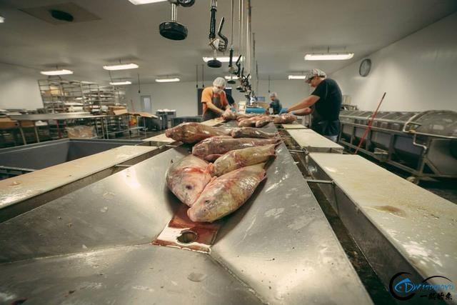 真有人将美国泛滥的亚洲鲤鱼卖到中国,但价格却让人无法接受-10.jpg