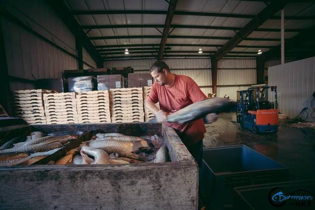 真有人将美国泛滥的亚洲鲤鱼卖到中国,但价格却让人无法接受-14.jpg