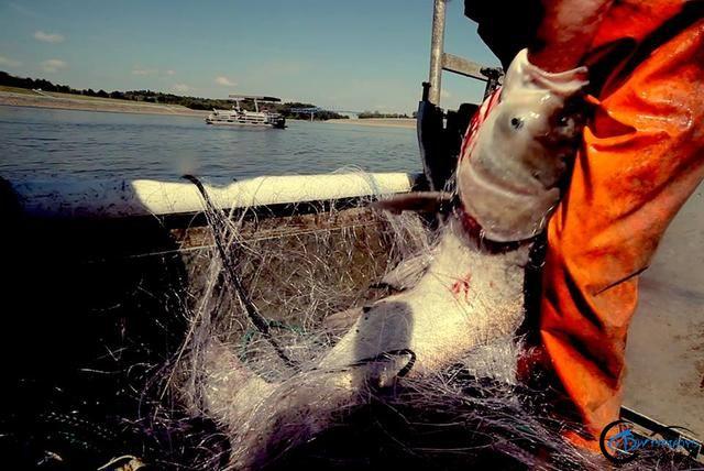 真有人将美国泛滥的亚洲鲤鱼卖到中国,但价格却让人无法接受-8.jpg