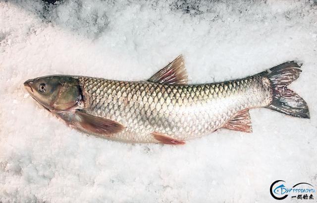 真有人将美国泛滥的亚洲鲤鱼卖到中国,但价格却让人无法接受-17.jpg