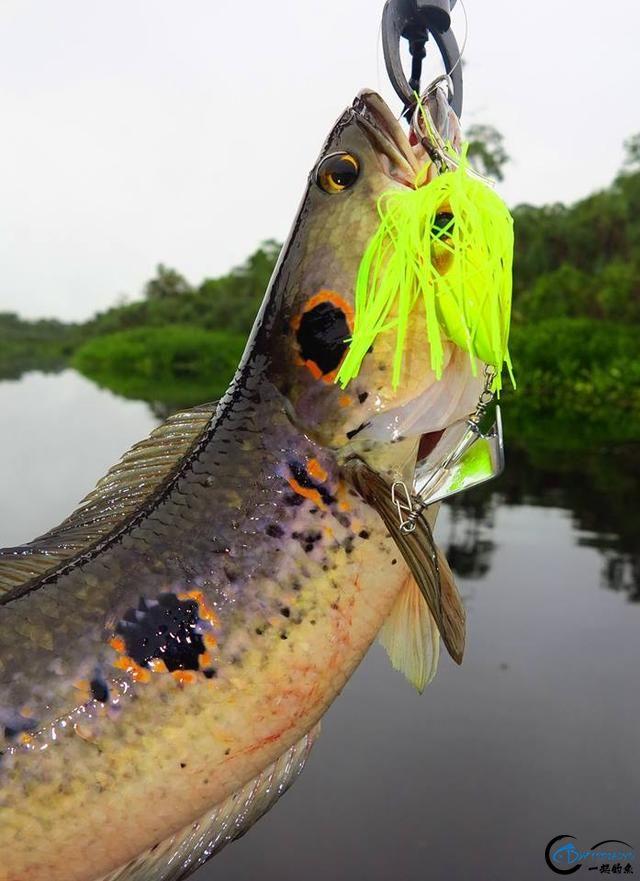 中国路亚钓鱼人远征苏门答腊,前去消灭泛滥成灾的金线多曼鱼-11.jpg