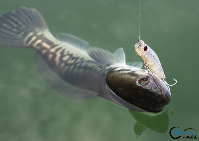 中国路亚钓鱼人远征苏门答腊,前去消灭泛滥成灾的金线多曼鱼-17.jpg
