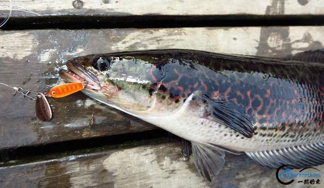 中国路亚钓鱼人远征苏门答腊,前去消灭泛滥成灾的金线多曼鱼-20.jpg