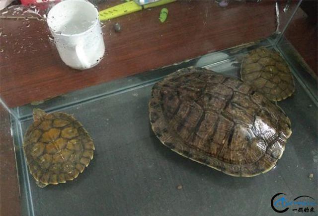 钓不到鱼,有乌龟抓看起来也不错,就是不知道这三只乌龟能吃吗?-3.jpg