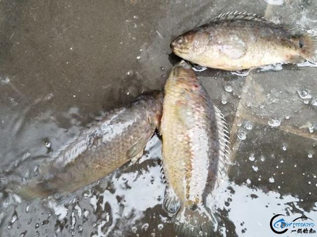 龟壳攀鲈和罗非鱼长得可真像!有和我一样分辨不出这两者的吗?-1.jpg
