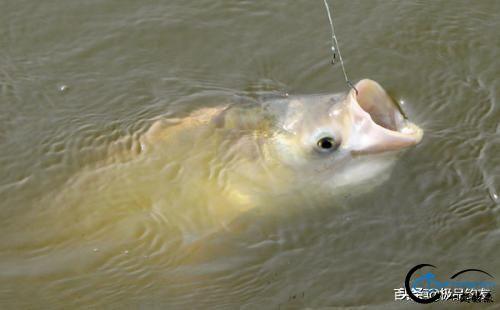 钓鱼:手竿钓鲢鳙你学会了吗-3.jpg