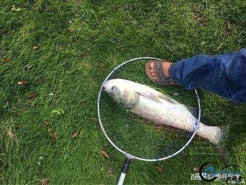 钓鱼:手竿钓鲢鳙你学会了吗-7.jpg