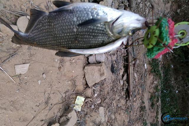 海竿阵玩起来真带劲!收获了好几种鱼,其中就有一条漂亮的土塘鲺-3.jpg