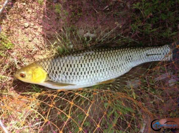"""它被钓鱼人俗称为""""假草鱼""""一双红眼睛十分显眼-6.jpg"""