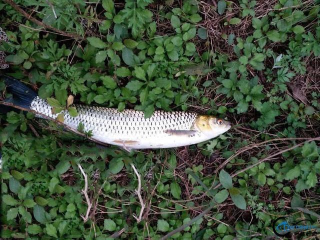 """它被钓鱼人俗称为""""假草鱼""""一双红眼睛十分显眼-5.jpg"""