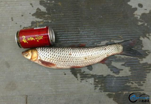 """它被钓鱼人俗称为""""假草鱼""""一双红眼睛十分显眼-12.jpg"""