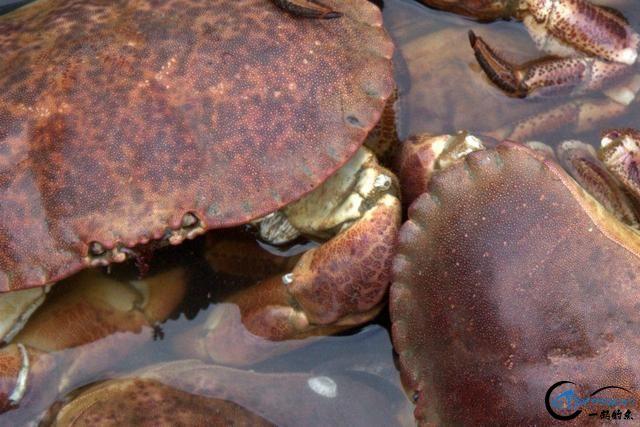有幸目睹美味面包蟹的捕捞全过程,做成麻辣蟹我能吃一船!-8.jpg
