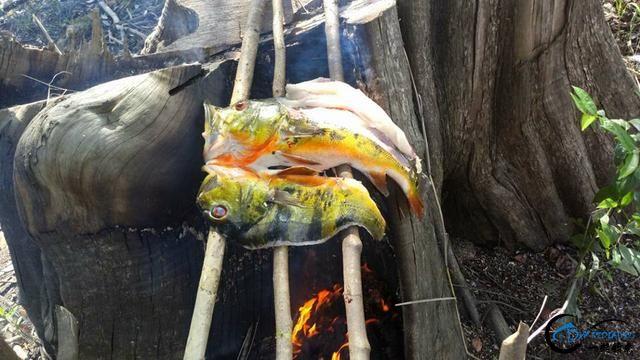 被国内观赏鱼玩家炒成天价的帝王三间,在国外生活的老凄惨了-22.jpg