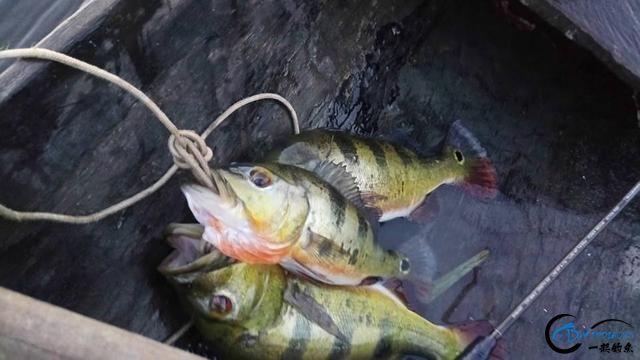 被国内观赏鱼玩家炒成天价的帝王三间,在国外生活的老凄惨了-16.jpg
