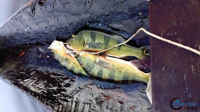被国内观赏鱼玩家炒成天价的帝王三间,在国外生活的老凄惨了-14.jpg