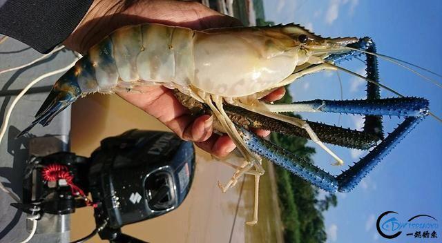 中国钓友组团去越南湄公河剿灭泛滥的罗氏虾,虾大的都成精了-8.jpg