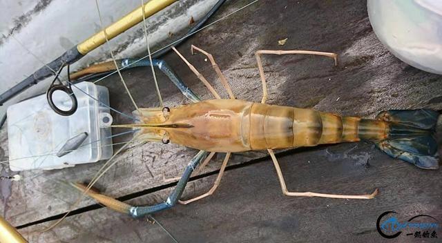 中国钓友组团去越南湄公河剿灭泛滥的罗氏虾,虾大的都成精了-5.jpg