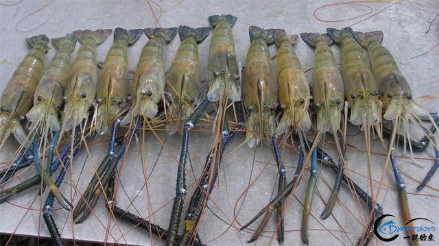 中国钓友组团去越南湄公河剿灭泛滥的罗氏虾,虾大的都成精了-14.jpg