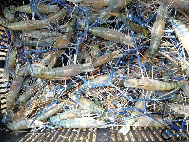 中国钓友组团去越南湄公河剿灭泛滥的罗氏虾,虾大的都成精了-15.jpg