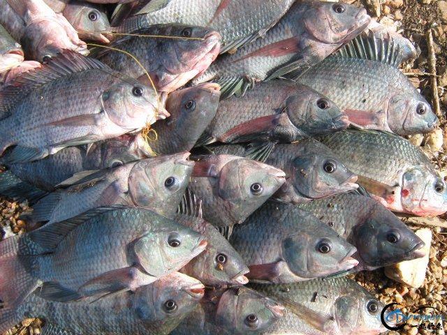 将维多利亚湖200多种鱼吃灭门的绝世凶鱼才是钓鱼人终极目标-3.jpg