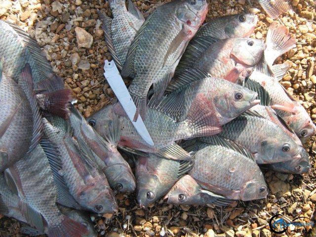 将维多利亚湖200多种鱼吃灭门的绝世凶鱼才是钓鱼人终极目标-4.jpg