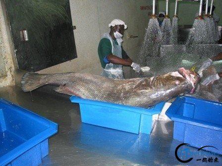将维多利亚湖200多种鱼吃灭门的绝世凶鱼才是钓鱼人终极目标-12.jpg