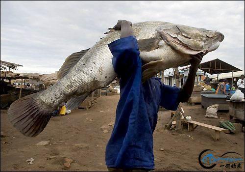将维多利亚湖200多种鱼吃灭门的绝世凶鱼才是钓鱼人终极目标-10.jpg