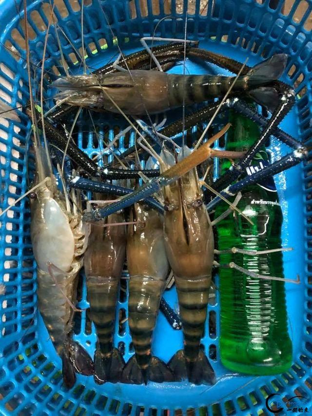 中国美女钓虾团远征越南罗氏虾,这钓获势必引发国内钓虾狂潮-18.jpg