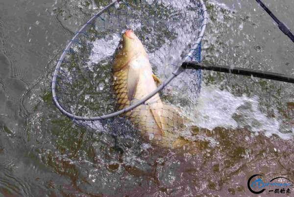 大鲫体硕,金鲤健美,这样钓鱼的好地方就在身边-12.jpg