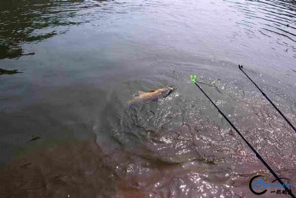 大鲫体硕,金鲤健美,这样钓鱼的好地方就在身边-15.jpg