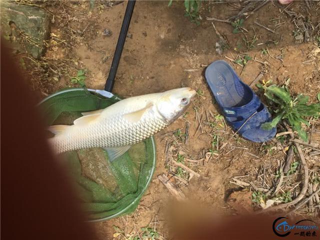 原来鲮鱼要这样钓,两小时狂拉三条大家伙-11.jpg